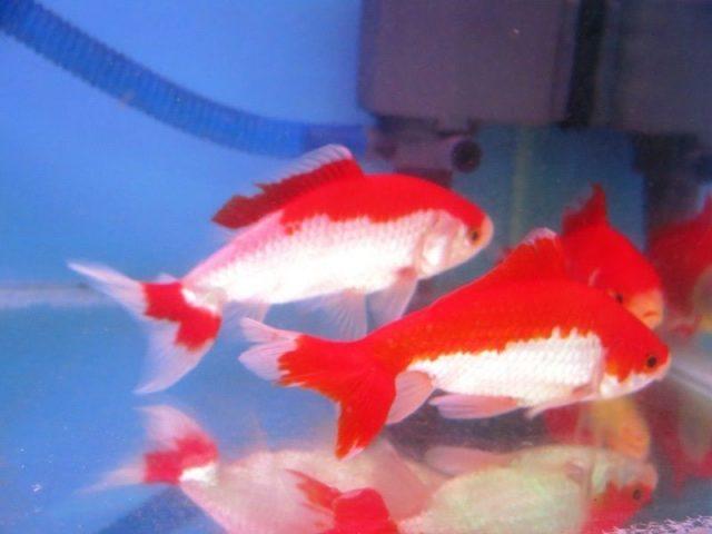 Gambar Nama Nama Ikan Hias Air Tawar Dan Gambarnya - Wakin