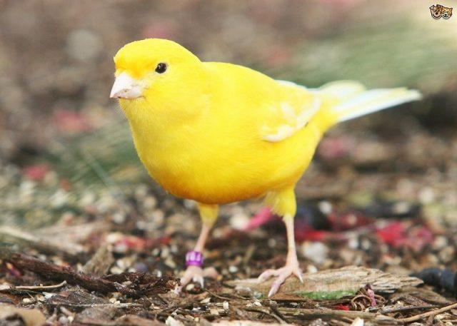 Gambar Burung Kenari Lokal Kuning