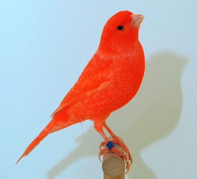 Gambar Burung Kenari Lokal Merah atau Red Factor Lipochrome
