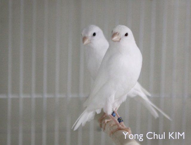 Gambar Burung Kenari Lokal Putih