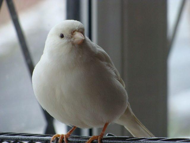 Burung Kenari Lokal Putih-Kenari Resesif Putih