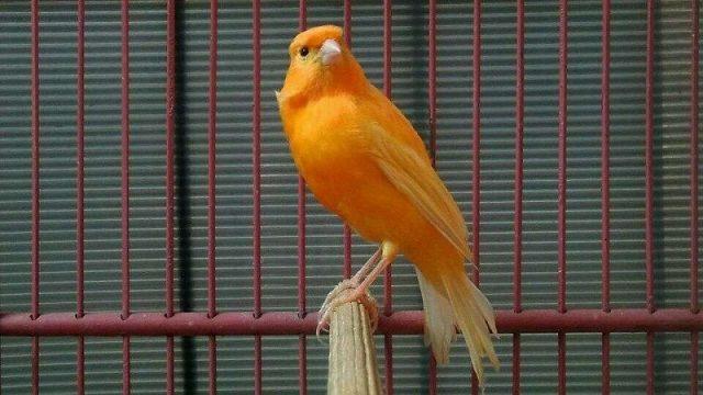 Gambar Burung Kenari Lokal Sunkist