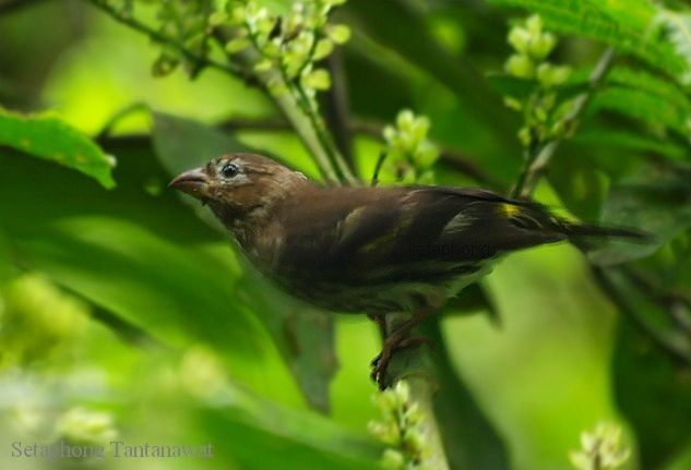 Kenari Melayu-Serinus estherae estherae