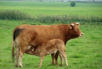 harga sapi limosin betina
