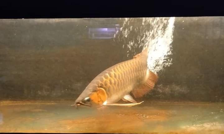 Jenis Ikan Hias Air Tawar Pembawa Keberuntungan Ikan Arwana