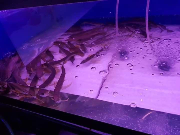 Jenis Ikan Hias Air Tawar Pembawa Keberuntungan Untuk Penjual Ikan Arwana