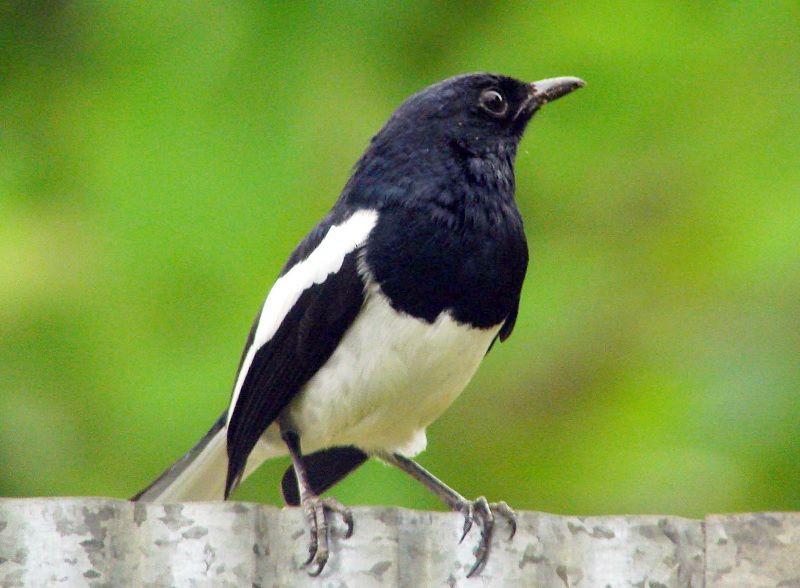 4000 Koleksi Gambar Hewan Burung Kacer Gratis