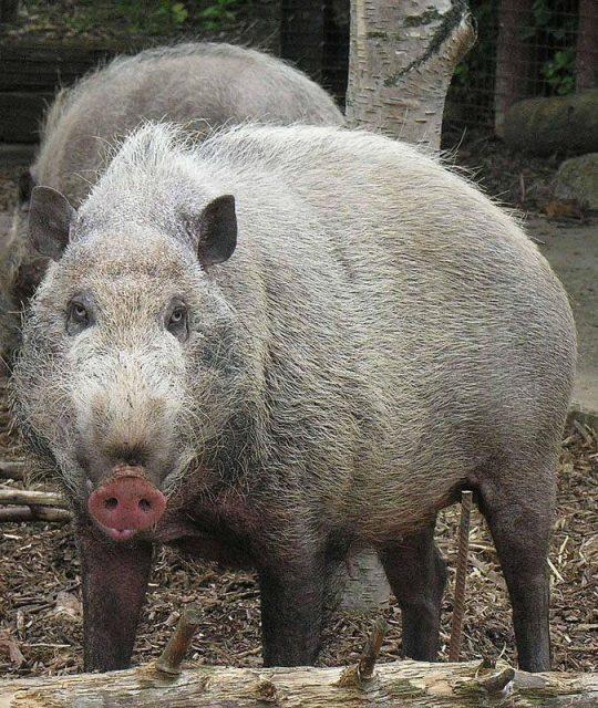Gambar Babi