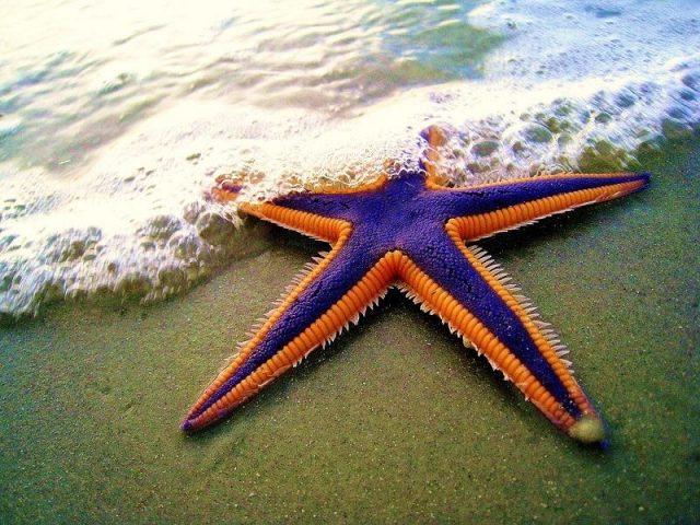 Gambar Nama Latin Hewan Bintang laut