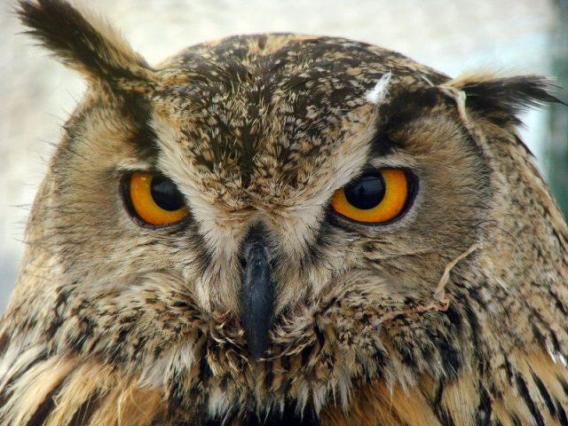 Gambar Nama Latin Hewan Burung Hantu