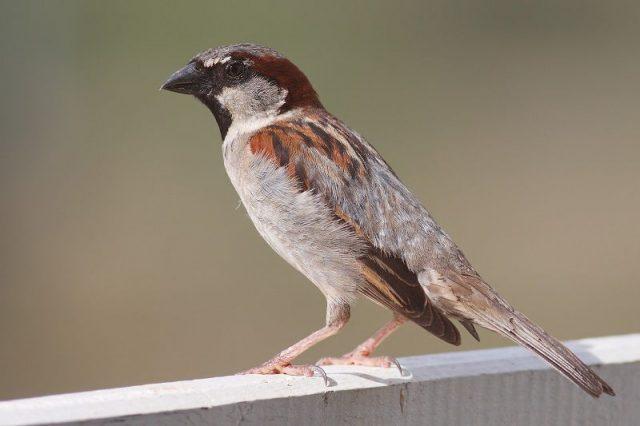 Gambar Nama Latin Hewan Burung gereja
