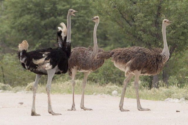 Gambar Nama Latin Hewan Burung unta