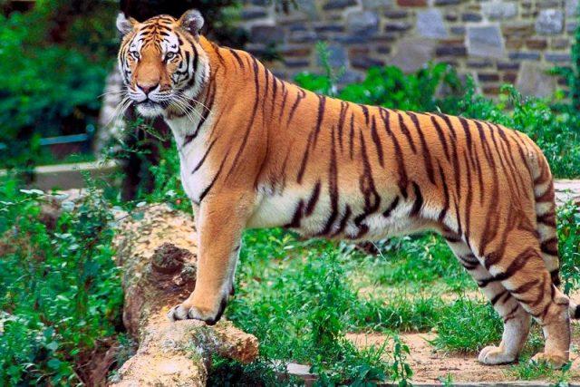 definisi kucing Harimau