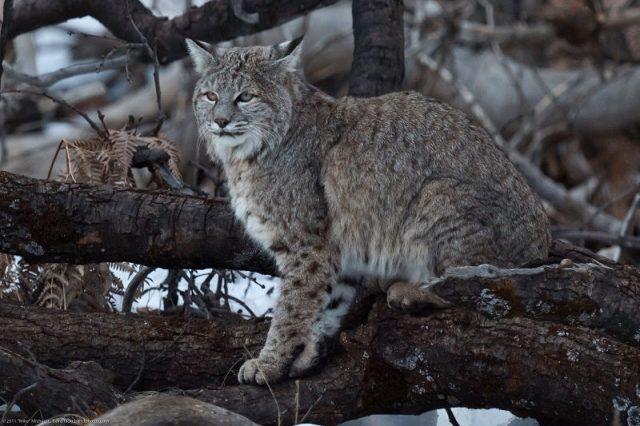 Kucing Bobcat