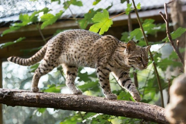 Kucing Geoffroy's Cat