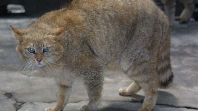 Nama Latin Kucing Gunung Cina