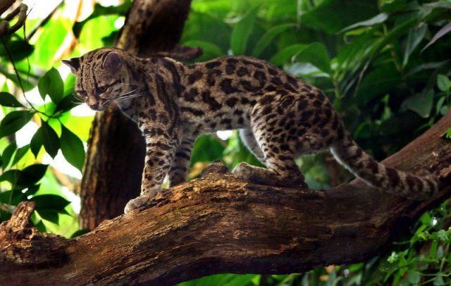 Kucing Margay 2