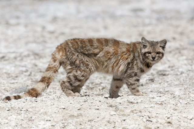 Kucing Oncilla