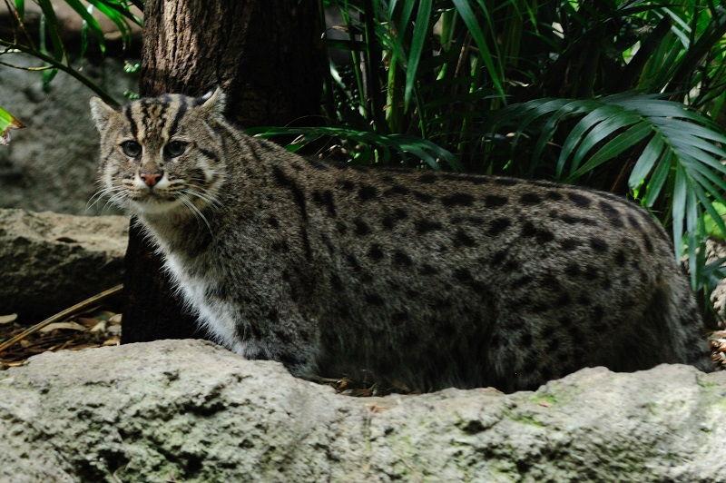 Nama Latin Kucing Lengkap Dengan Gambarnya | Nama-Nama Hewan
