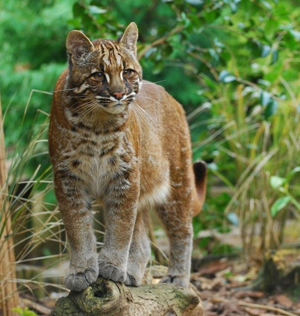 Nama Latin Kucing emas Asia