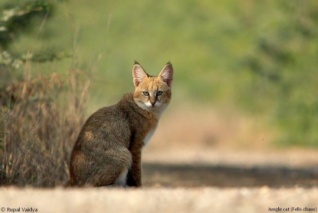 nama latin kucing hutan