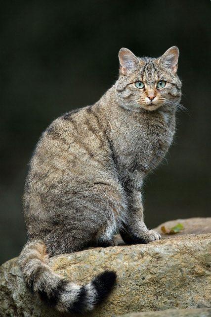 Gambar Nama Latin Kucing Kucing liar