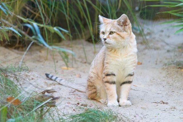 Gambar Nama Latin Kucing pasir