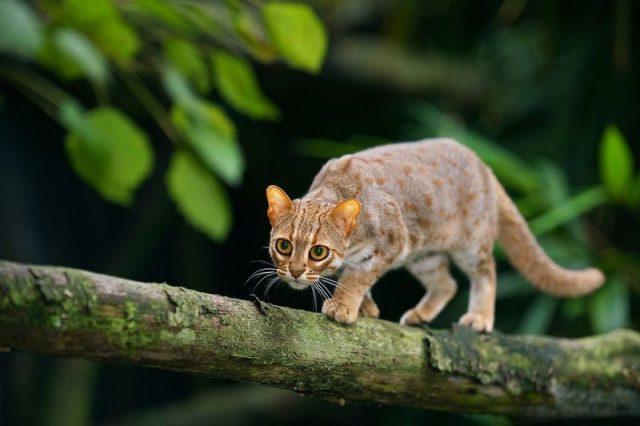 nama latin kucing ras