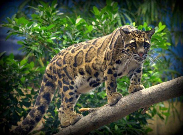habitat kucing Macan dahan
