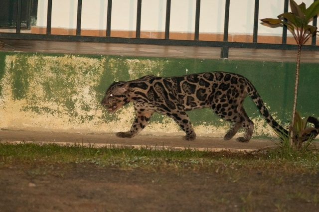 klasifikasi kucing Macan dahan sunda