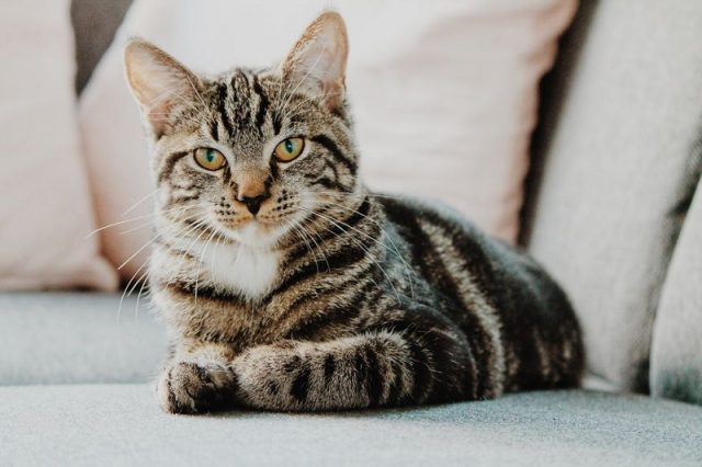 Gambar Deskripsi Kucing