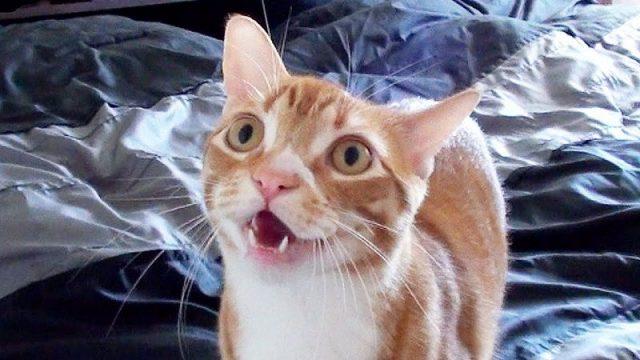 Gambar Suara Kucing