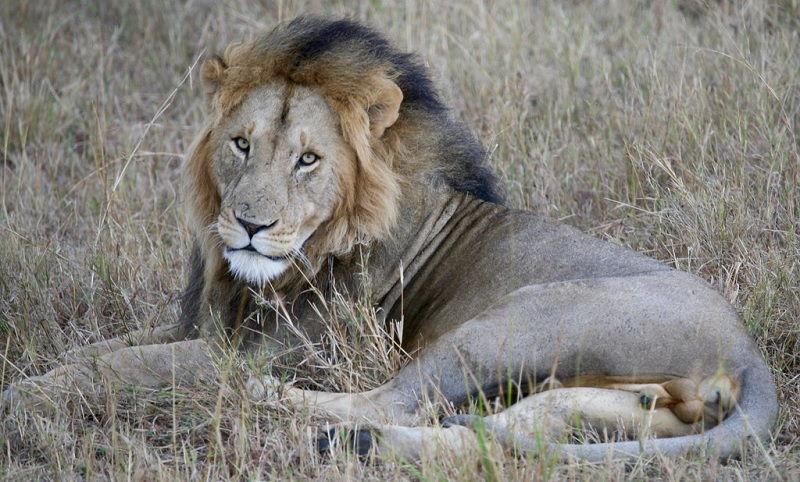 Nama latin Singa Afrika Timur atau Singa Masai