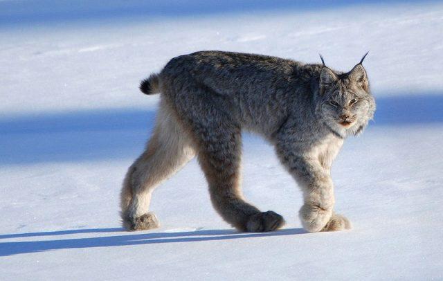 Gambar Habitat Kucing Canadian Lynx