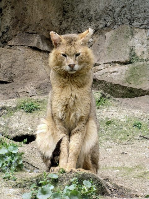 Habitat Kucing Hutan