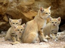 Habitat Kucing Pasir