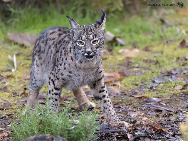 Gambar Habitat Kucing Spanish Lynx