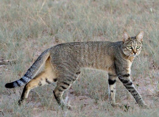 Deskripsi Kucing Hutan