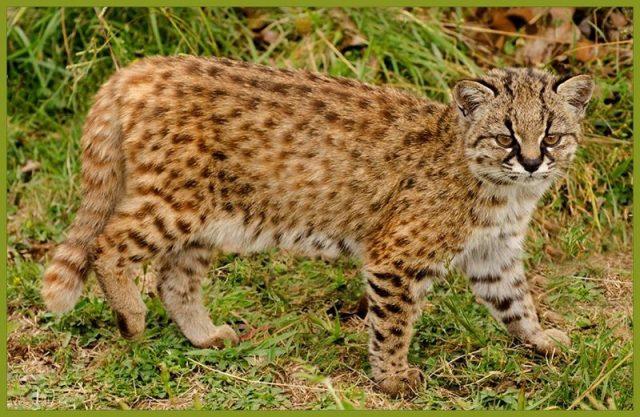 Gambar Kucing Kodkod