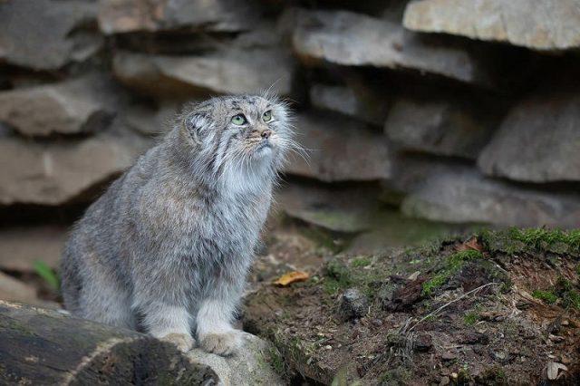 Kucing Palla
