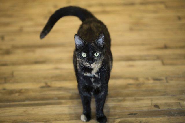 Deskripsi Kucing Peliharaan