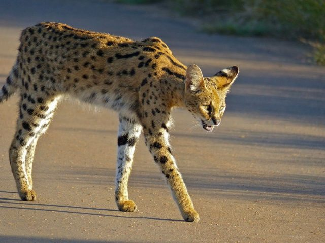 Kucing Serval