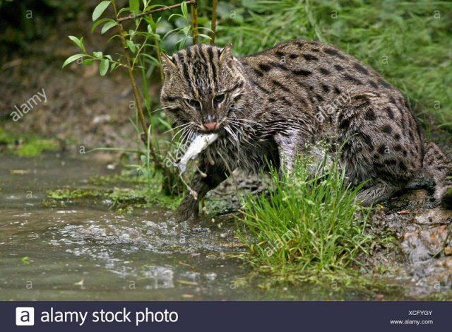 Gambar Kucing bakau