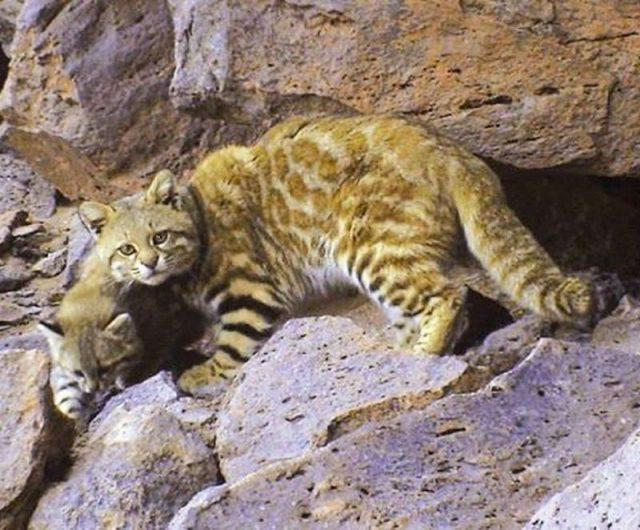Kucing pantanal