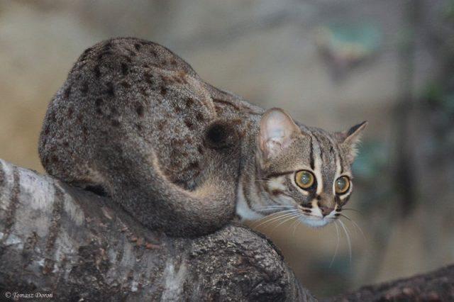 Kucing totol