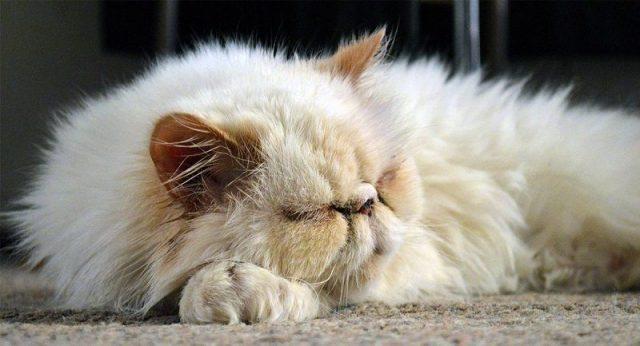 Foto Kucing Persia hidung datar