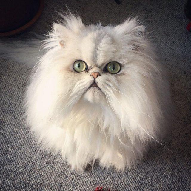 Kucing Persia hidung datar lucu