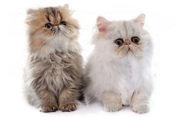 Harga Kucing Persia hidung datar
