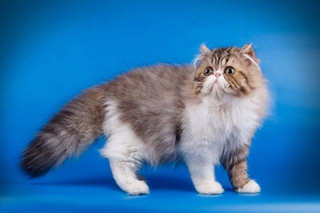 Gambar Kucing Persia Lucu hidung datar
