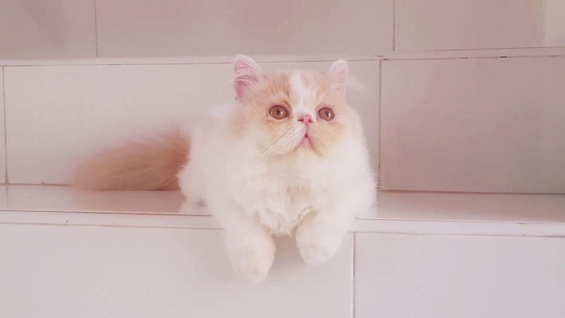 Ciri-ciri kucing persia hidung pesek